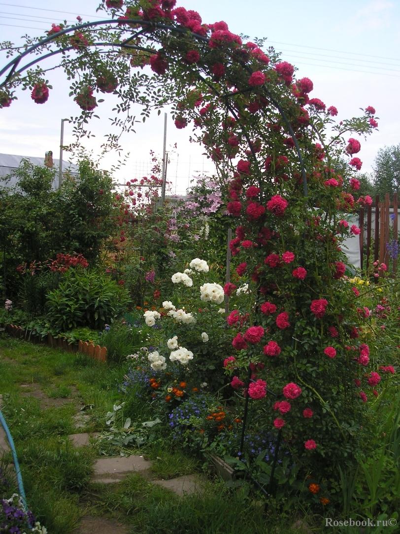 Плетистые розы где сажать 836