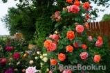 Выращивание роз на даче в подмосковье 66